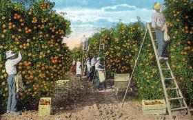 orange orchard picking
